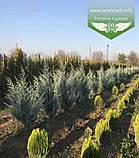 Juniperus scopulorum 'Moonlight', Ялівець скельний 'Мунлайт',WRB - ком/сітка,100-120см, фото 9