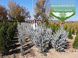 Juniperus scopulorum 'Moonlight', Ялівець скельний 'Мунлайт',WRB - ком/сітка,100-120см, фото 10