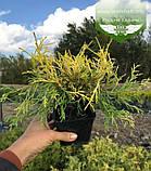 Chamaecyparis pisifera 'Filifera Aurea', Кипарисовик горохоплідний 'Філіфера Ауреа',C2 - горщик 2л,20-40см, фото 4