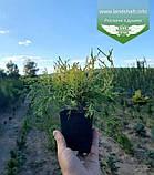 Chamaecyparis pisifera 'Filifera Aurea', Кипарисовик горохоплідний 'Філіфера Ауреа',C2 - горщик 2л,20-40см, фото 5