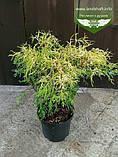 Chamaecyparis pisifera 'Filifera Aurea', Кипарисовик горохоплідний 'Філіфера Ауреа',C2 - горщик 2л,20-40см, фото 6