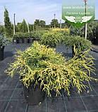 Chamaecyparis pisifera 'Filifera Aurea', Кипарисовик горохоплідний 'Філіфера Ауреа',C2 - горщик 2л,20-40см, фото 7
