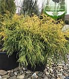 Chamaecyparis pisifera 'Filifera Aurea', Кипарисовик горохоплідний 'Філіфера Ауреа',C2 - горщик 2л,20-40см, фото 9