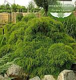 Chamaecyparis pisifera 'Filifera Nana', Кипарисовик горохоплідний 'Філіфера Нана',P7-Р9 - горщик 9х9х9,5-10см, фото 2