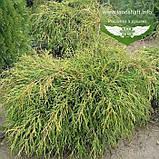 Chamaecyparis pisifera 'Filifera Nana', Кипарисовик горохоплідний 'Філіфера Нана',P7-Р9 - горщик 9х9х9,5-10см, фото 5