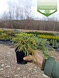 Chamaecyparis pisifera 'Filifera Nana', Кипарисовик горохоплідний 'Філіфера Нана',P7-Р9 - горщик 9х9х9,5-10см, фото 6