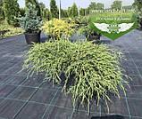Chamaecyparis pisifera 'Filifera Nana', Кипарисовик горохоплідний 'Філіфера Нана',P7-Р9 - горщик 9х9х9,5-10см, фото 7