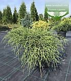 Chamaecyparis pisifera 'Filifera Nana', Кипарисовик горохоплідний 'Філіфера Нана',P7-Р9 - горщик 9х9х9,5-10см, фото 8