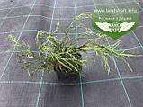 Chamaecyparis pisifera 'Filifera Nana', Кипарисовик горохоплідний 'Філіфера Нана',P7-Р9 - горщик 9х9х9,5-10см, фото 9
