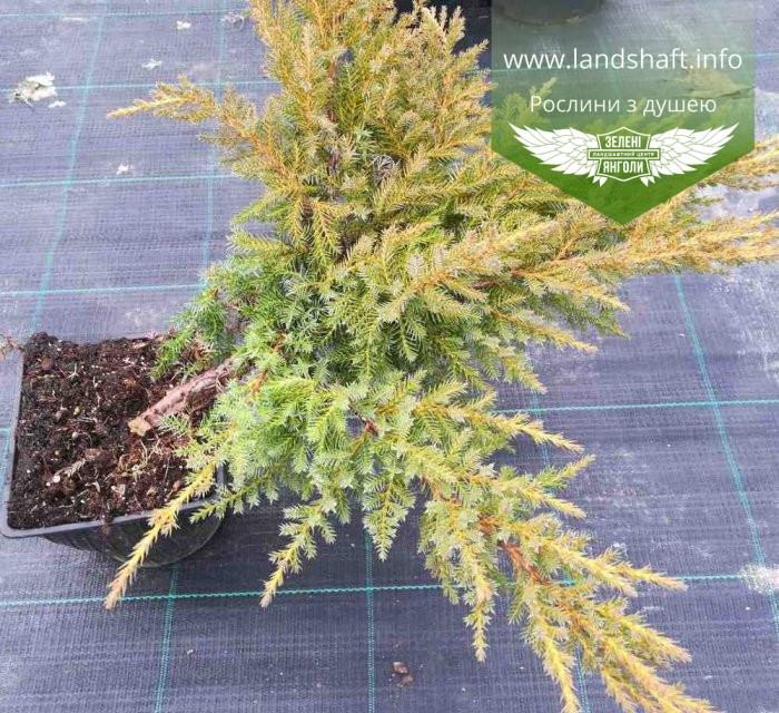 Juniperus x media 'Daub's Frosted', Ялівець середній 'Дабс Фростед',C2 - горщик 2л