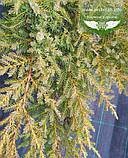 Juniperus x media 'Daub's Frosted', Ялівець середній 'Дабс Фростед',C2 - горщик 2л, фото 2