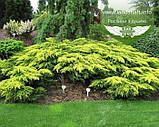 Juniperus x media 'Daub's Frosted', Ялівець середній 'Дабс Фростед',C2 - горщик 2л, фото 3