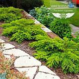 Juniperus x media 'Daub's Frosted', Ялівець середній 'Дабс Фростед',C2 - горщик 2л, фото 4