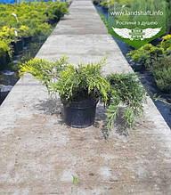 Juniperus x media 'Golden Saucer', Ялівець середній 'Голден Саусер',C2 - горщик 2л