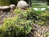 Juniperus x media 'Golden Saucer', Ялівець середній 'Голден Саусер',C2 - горщик 2л, фото 3