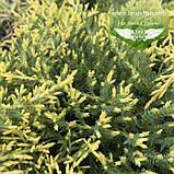 Juniperus x media 'Golden Saucer', Ялівець середній 'Голден Саусер',C2 - горщик 2л, фото 4