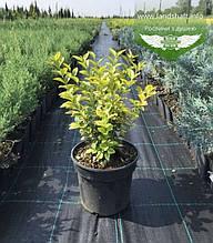 Ligustrum ovalifolium 'Aureum', Бирючина овальнолиста 'Ауреум',C2 - горщик 2л