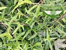 Hedera helix 'Sagittifolia', Плющ звичайний 'Сагіттіфолія',C2 - горщик 2л