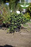 Hedera helix 'Sagittifolia', Плющ звичайний 'Сагіттіфолія',C2 - горщик 2л, фото 3