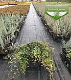 Hedera helix 'Sagittifolia', Плющ звичайний 'Сагіттіфолія',C2 - горщик 2л, фото 5