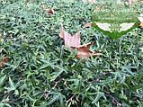 Hedera helix 'Sagittifolia', Плющ звичайний 'Сагіттіфолія',C2 - горщик 2л, фото 7