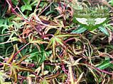 Hedera helix 'Sagittifolia', Плющ звичайний 'Сагіттіфолія',C2 - горщик 2л, фото 8