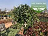Hedera helix 'Sagittifolia', Плющ звичайний 'Сагіттіфолія',C2 - горщик 2л, фото 9