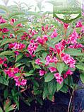Weigela florida 'Rumba', Вейгела квітуча 'Румба',C2 - горщик 2л, фото 2