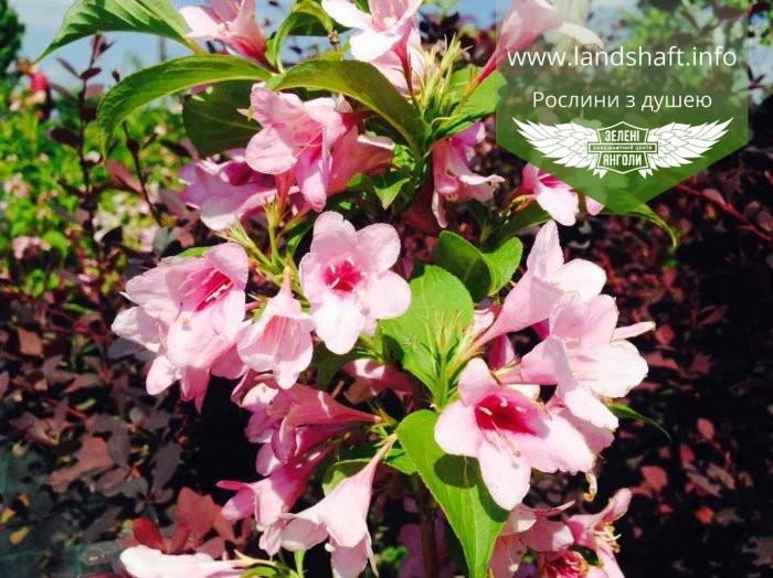 Weigela florida Pink, Вейгела квітуча рожева,C2 - горщик 2л