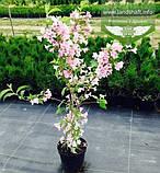 Weigela florida Pink, Вейгела квітуча рожева,C2 - горщик 2л, фото 2