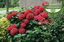 Hydrangea macrophylla 'Masja', Гортензія крупнолиста 'Мася',C2 - горщик 2л