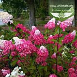 Hydrangea paniculata 'Fraise Melba', Гортензія волотиста 'Фрайз Мельба',C10 - горщик 10л, фото 3
