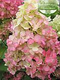Hydrangea paniculata 'Fraise Melba', Гортензія волотиста 'Фрайз Мельба',C10 - горщик 10л, фото 4
