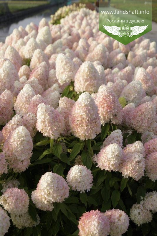 Hydrangea paniculata 'Magical Sweet Summer', Гортензія волотиста 'Меджікал Світ Самер',P7-Р9 - горщик 9х9х9
