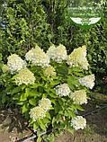 Hydrangea paniculata 'Magical Sweet Summer', Гортензія волотиста 'Меджікал Світ Самер',P7-Р9 - горщик 9х9х9, фото 2