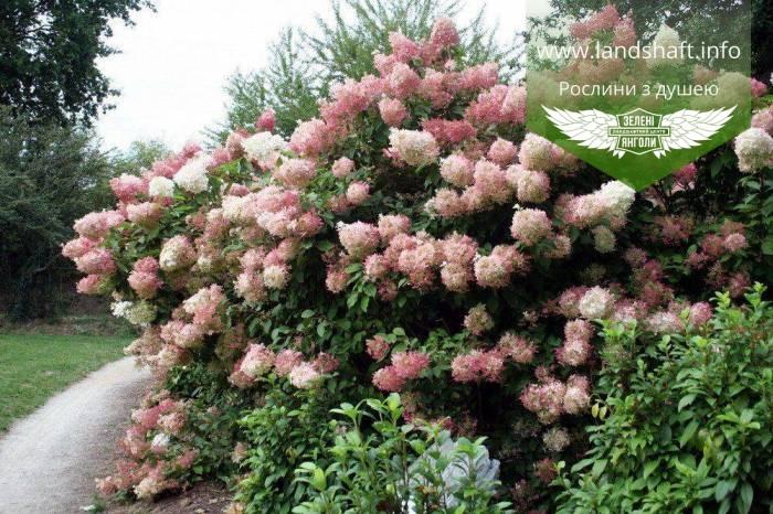 Hydrangea paniculata 'Phantom', Гортензія волотиста 'Фантом',P7-Р9 - горщик 9х9х9