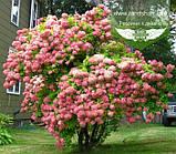 Hydrangea paniculata 'Phantom', Гортензія волотиста 'Фантом',P7-Р9 - горщик 9х9х9, фото 2