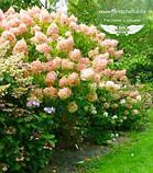 Hydrangea paniculata 'Phantom', Гортензія волотиста 'Фантом',P7-Р9 - горщик 9х9х9, фото 3
