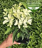 Hydrangea paniculata 'Phantom', Гортензія волотиста 'Фантом',P7-Р9 - горщик 9х9х9, фото 5