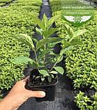 Hydrangea paniculata 'Phantom', Гортензія волотиста 'Фантом',P7-Р9 - горщик 9х9х9, фото 6