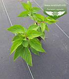 Hydrangea paniculata 'Phantom', Гортензія волотиста 'Фантом',P7-Р9 - горщик 9х9х9, фото 7