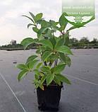 Hydrangea paniculata 'Phantom', Гортензія волотиста 'Фантом',P7-Р9 - горщик 9х9х9, фото 8