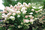 Hydrangea paniculata 'Phantom', Гортензія волотиста 'Фантом',P7-Р9 - горщик 9х9х9, фото 9