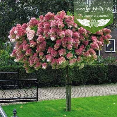 Hydrangea paniculata 'Vanille Fraise' STAM, Гортензія волотиста 'Ванілле Фрайз' Штамб,C5 - горщик