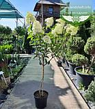 Hydrangea paniculata 'Vanille Fraise' STAM, Гортензія волотиста 'Ванілле Фрайз' Штамб,C5 - горщик, фото 2