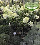 Hydrangea paniculata 'Vanille Fraise' STAM, Гортензія волотиста 'Ванілле Фрайз' Штамб,C5 - горщик, фото 3