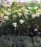 Hydrangea paniculata 'Vanille Fraise' STAM, Гортензія волотиста 'Ванілле Фрайз' Штамб,C5 - горщик, фото 4