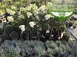 Hydrangea paniculata 'Vanille Fraise' STAM, Гортензія волотиста 'Ванілле Фрайз' Штамб,C5 - горщик, фото 5