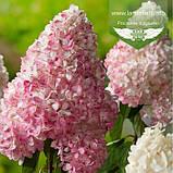 Hydrangea paniculata 'Vanille Fraise' STAM, Гортензія волотиста 'Ванілле Фрайз' Штамб,C5 - горщик, фото 7