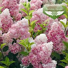 Hydrangea paniculata 'Vanille Fraise', Гортензія волотиста 'Ванілле Фрайз',C2 - горщик 2л